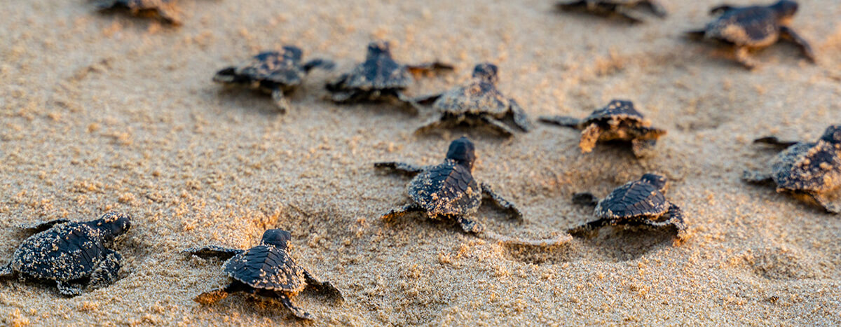 Liberar tortugas en temporada