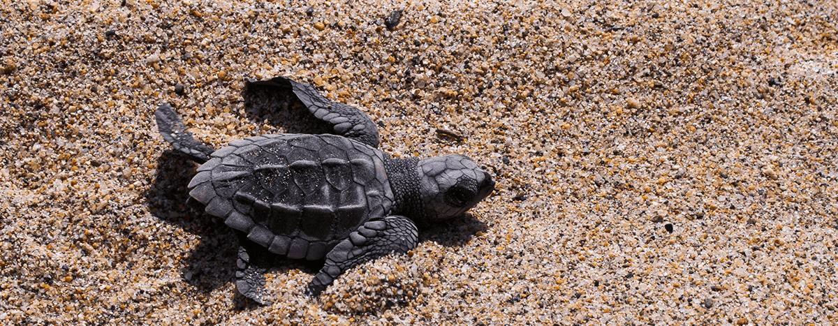 Turtles releasing Puerto Vallarta