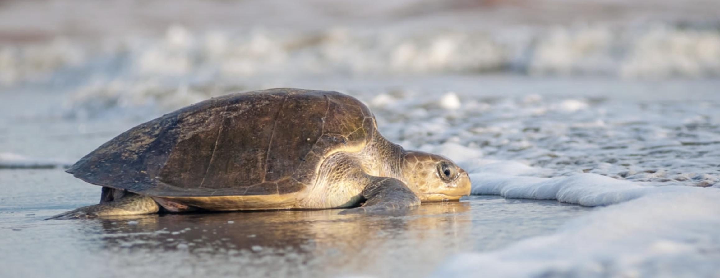 Turtles releasing in Puerto Vallarta